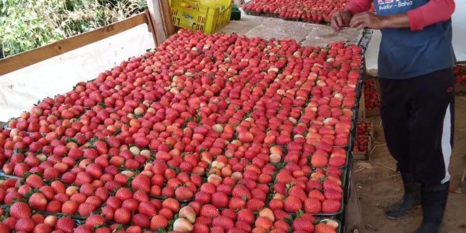 Epamig e Emater-MG se unem à Rede Morangos do Brasil para desenvolver variedades adaptadas do fruto
