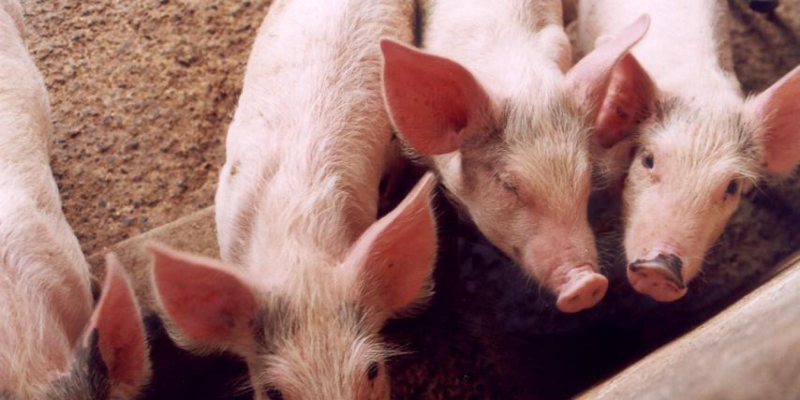 Trânsito de suínos para o abate registra alta em Minas